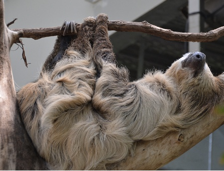 Sloth taking it easy