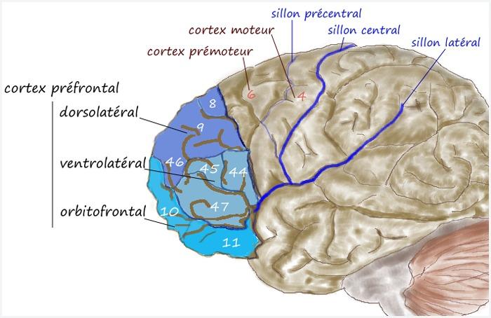 Prefrontal1-2